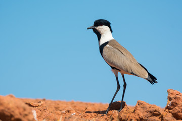 Profile of a Spur-Winged Plover (Vanellus Spinosus)