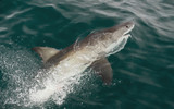 White shark (Carcharodon carcharias) in the water