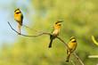 Three Little Bee-Eaters (Merops pusillus) on a branch