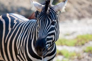 African Zebra portrait horizontal view