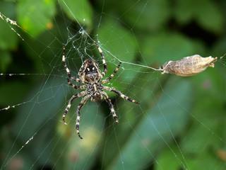 ragno con preda