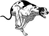 english greyhound black white