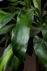 dracaena fragrans - tronchetto della felicita'