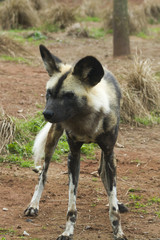 African painted wild dog (Lycaon pictus)