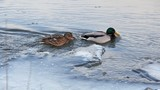 Ducks in cold river.