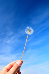 hand with Taraxacum officinale under blue sky