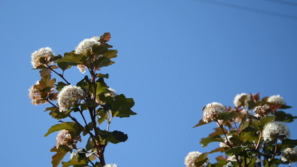 White blooming viburnum snowball bush blooms move on blue sky