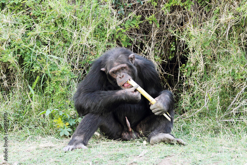 A Chimpanzee eating sugarcane at Ol Pejeta Conservancy