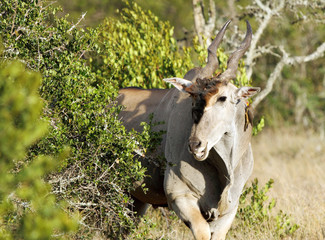 Beautiful Giant Eland antelope emerging from a bush