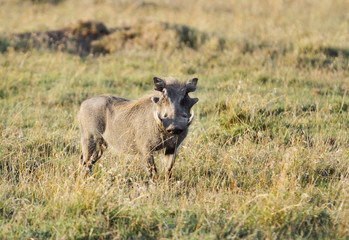 A warthog staring at Camera