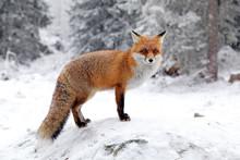 """Постер, картина, фотообои """"Fox in forest at High Tatras, Slovakia"""""""