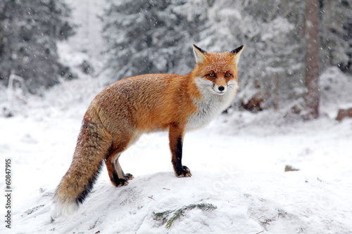 Fox in forest at High Tatras, Slovakia - 60847915
