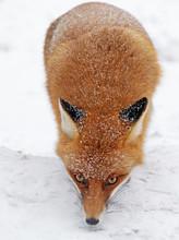 Lis w lesie w Tatrach Wysokich na Słowacji