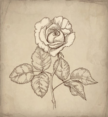Vector illustration of rose flower