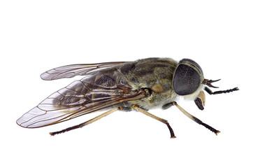 Horsefly isolated on a white background (Tabanus sp.)