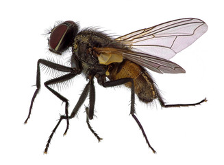 High detailed close up  of a house fly (Musca  domestica)