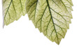 detail of a leaf on white background