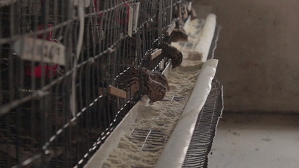 Battery farmed quail feeding from their cages.