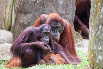 Endangered Orang Utan Couple