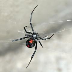Spider, Australian Red-back,  female spider at rest on web