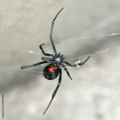 Spider, Australian Red-back,  female spider at rest on web