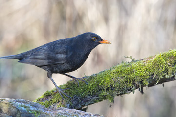 blackbird portrait