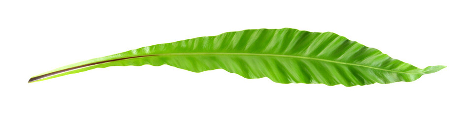 Bird's nest fern leaf on white background
