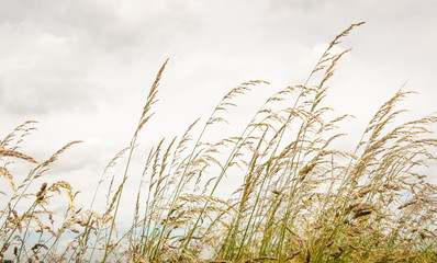 Flowering grasses blowing in the wind against a cloudy sky