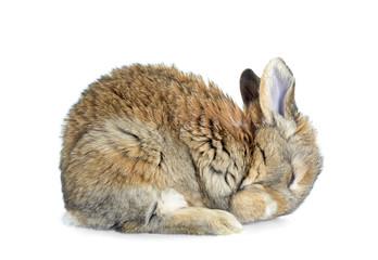 Śpiący królik