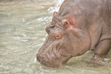 hippopotamus portrait in the water