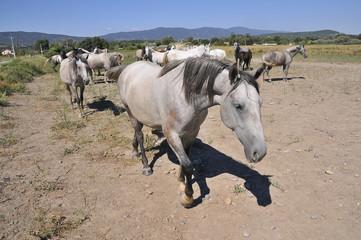 Cavalli in recinto