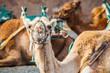camel in lanzarote in timanfaya ...
