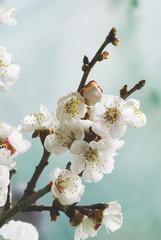 Pastel tones Spring blossom macro