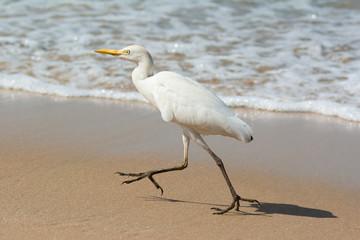 Cattle Egret running on the beach