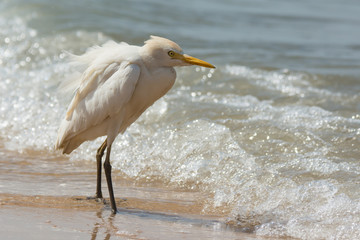 Cattle Egret standing in the surf