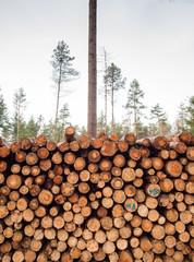 freshly felled logs in forest