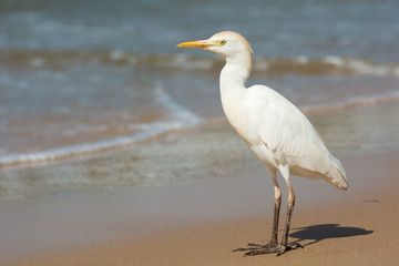 Cattle Egret standing on the beach