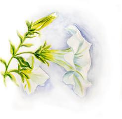 White petunia flowers. Watercolor