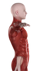 Man ABDOMINAL muscle anatomy lateral view