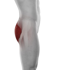 Man GLUTEUS MAXIMUS muscle anatomy isolated