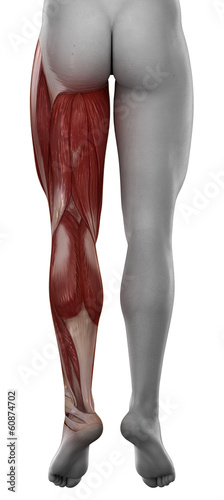 Leg male muscle anatomy posterior view isolated