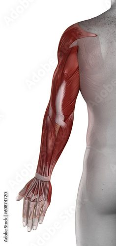 Hands male muscles anatomy posterior view isolated