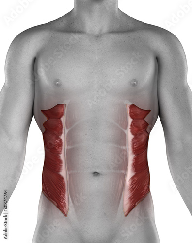 External oblique male muscles anatomy anterior view isolated