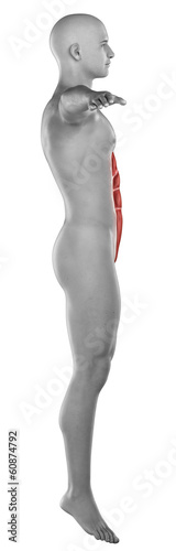 Man RECTUS ABDOMINUS  anatomy isolated