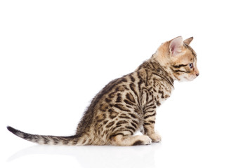 purebred bengal kitten sitting in profile. isolated on white
