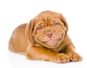 happy smiling Bordeaux puppy dog. isolated on white background