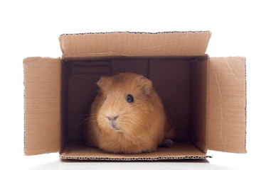 haired cavy in a box