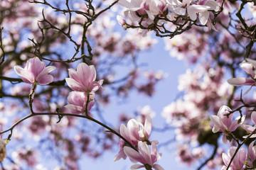 Magnolienblüten Hintergrund