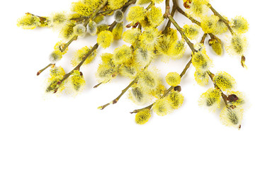 Branches of goat-willow