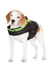 beagle dog in a swimming life jacket